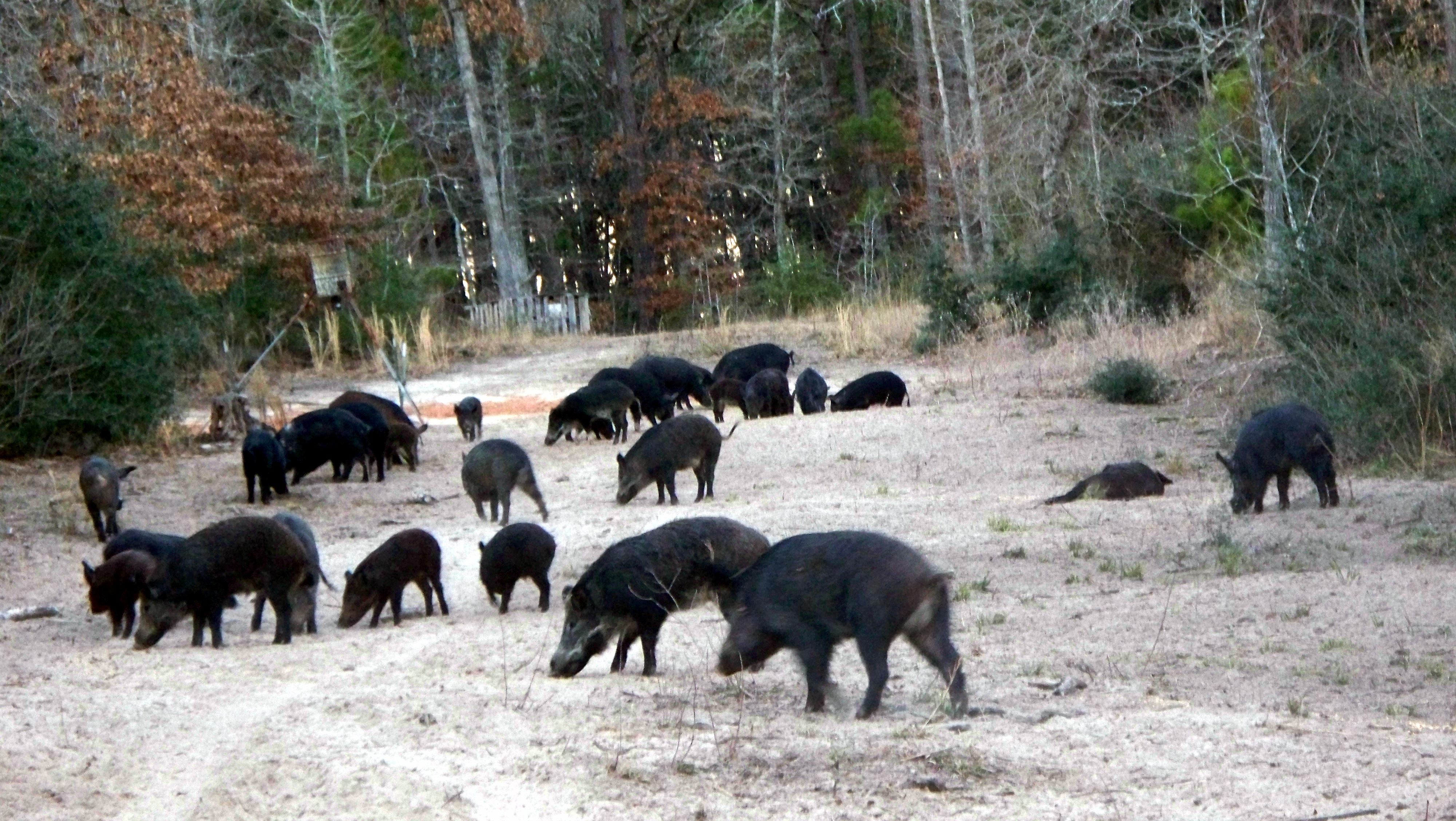 Hog Hunts - Band of Brothers Outfitters