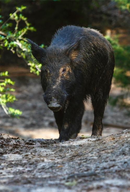 Langley Ranch THE BEST WILD HOG HUNTING IN TEXAS